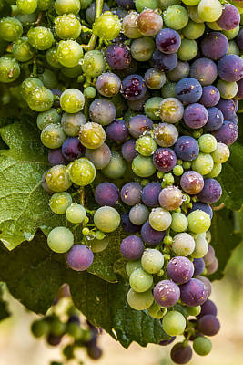 Red Wine Grapes Hanging On The Vine Art Print by Teri Virbickis