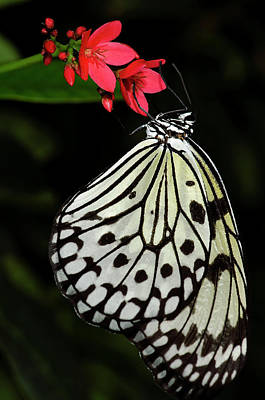 Large Tree Nymph Photograph - Rice Paper Butterfly by JT Lewis