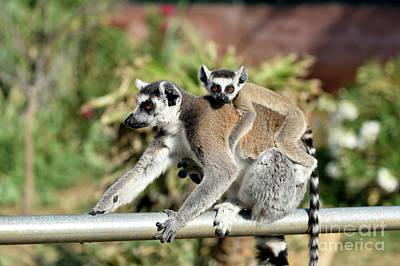 Lemur Photograph - Ring Tailed Lemur With Baby by George Atsametakis