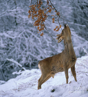 Photograph - Roe Deer by Hans Reinhard