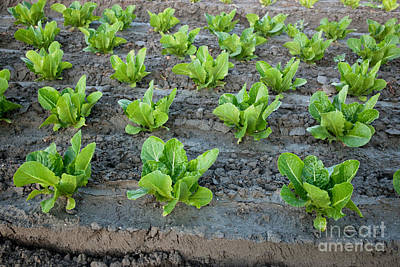 Romaine Lettuce Photograph - Romaine Lettuce by Inga Spence
