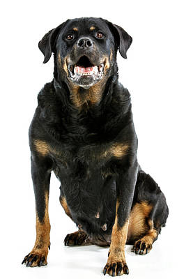 Photograph - Rottweiler Dog by Gunnar Orn Arnason