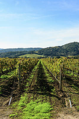 Photograph - Row Of Grapevines In Napa Valley California by Brandon Bourdages