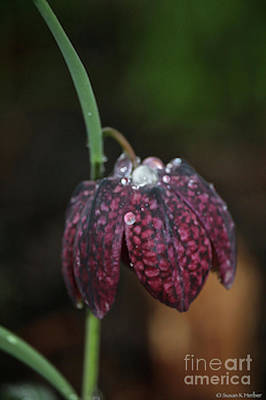 Photograph - Ruby Dew by Susan Herber