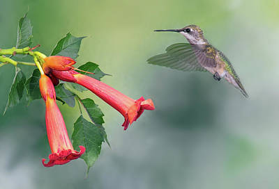 Photograph - Ruby Throated Hummingbird by Jim Zablotny