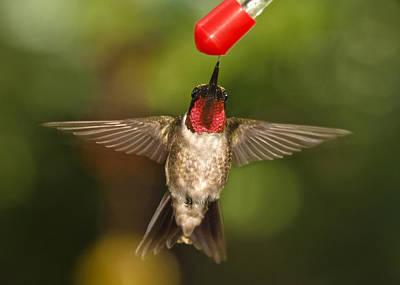 Photograph - Ruby-throated Hummingbird by Robert L Jackson