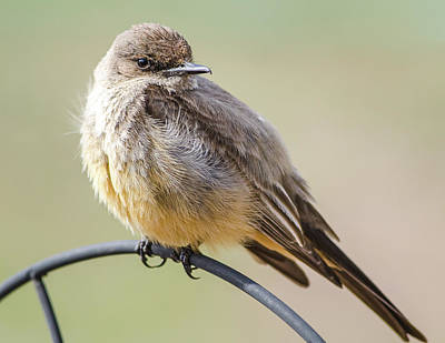 Photograph - Say's Phoebe by John Brink