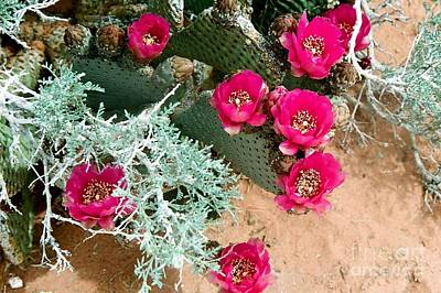Photograph - Beavertail Cactus by Frank Townsley