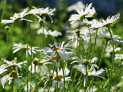 Photograph - Scentless Mayweed by Jouko Lehto
