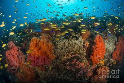 Animals Photos - School Of Anthias Fish Swimming by Mathieu Meur