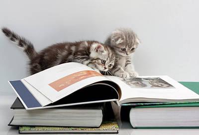 Animals Photos - Scottish Fold cats by Evgeniy Lankin