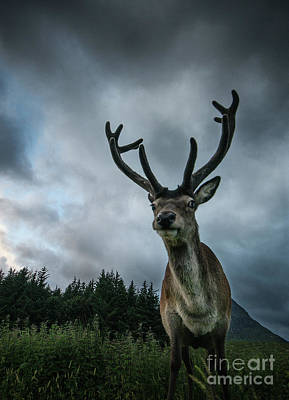 Photograph - Scottish Highland Stag by Keith Thorburn LRPS