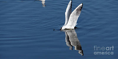 Photograph - Seagull Fishing by Odon Czintos