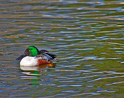Photograph -  Shoveler Duck by Robert Brown