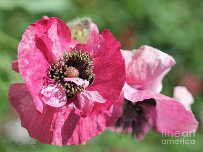 Photograph - Single Merlot Rose Wine Poppy From The Angel's Choir Mix by J McCombie
