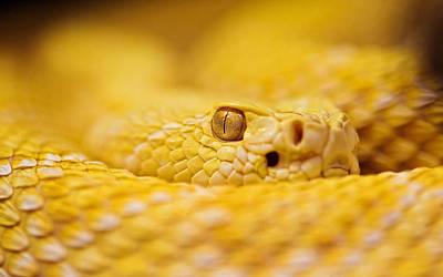 Diamondback Digital Art - Snake by Carmine Danhauer