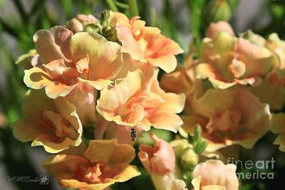 Photograph - Snapdragon Named Twinny Peach by J McCombie