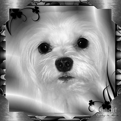 Dog Photograph - Snowdrop The Maltese by Morag Bates