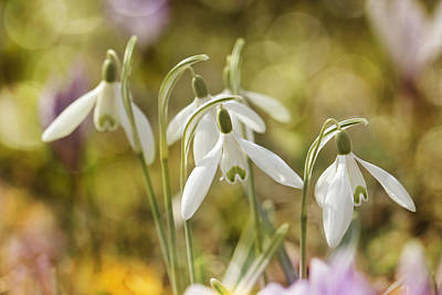 Lenz Wall Art - Photograph - Snowdrops  by Heike Hultsch