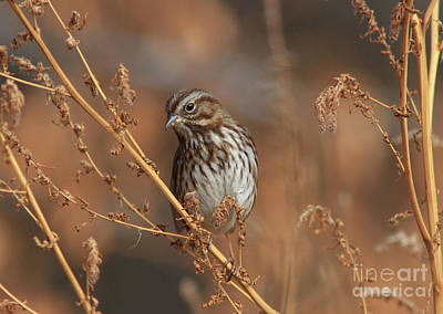 Photograph - Song Sparrow by Gary Wing