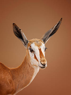 Royalty-Free and Rights-Managed Images - Springbok portrait by Johan Swanepoel