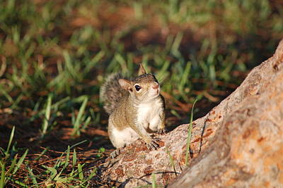Photograph - 3- Squirrel by Joseph Keane