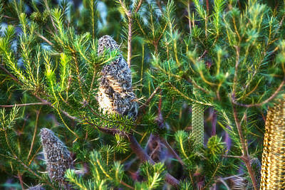 Photograph - 3 Stages Of Banksia by Miroslava Jurcik