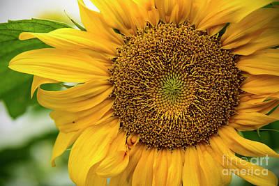 Photograph - Sunflower  by Debra Fedchin