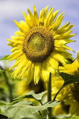 Photograph - Sunflower by Fran Gallogly