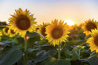 Sunflower Sunset Art Print by Ryan Heffron