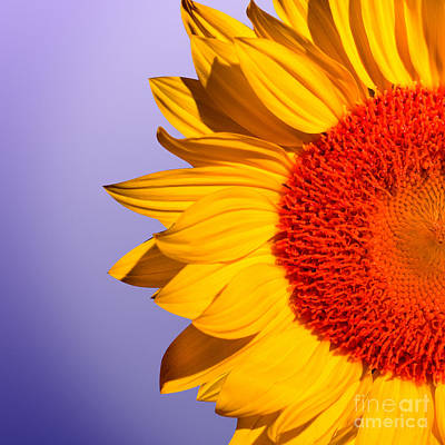 Yellow Sunflowers Photograph - Sunflowers by Mark Ashkenazi