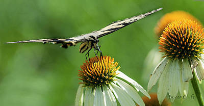 Photograph - Swallowtail by Diane Giurco