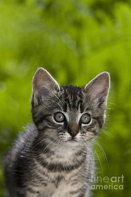 Gray Tabby Photograph - Tabby Kitten by Jean-Louis Klein & Marie-Luce Hubert