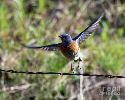 Bluebird Photograph - Take Flight by Mike Dawson