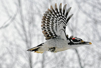 Picoides Villosus Photograph - The Hairy Woodpecker In-flight by Asbed Iskedjian