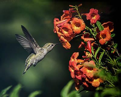 Photograph - The Hummingbird Hover  by Saija Lehtonen