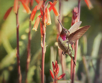 Photograph - The Hummingbird  by Saija Lehtonen