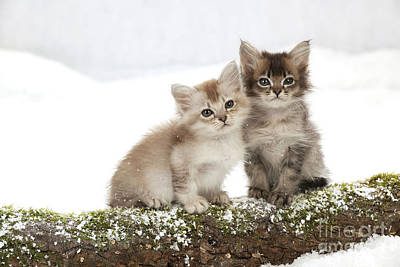 Photograph - Tiffanie Kittens by John Daniels