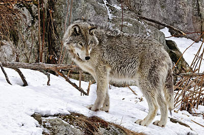 Timber Wolf In Winter Art Print by Michael Cummings