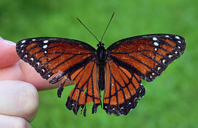 Photograph - Viceroy Butterfly by Larah McElroy