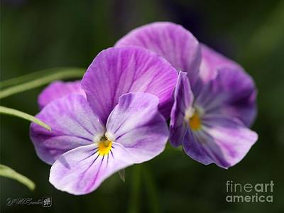 Photograph - Viola Named Columbine by J McCombie