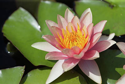 Photograph - Water Lily Flower by Bernard Lynch