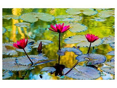 3 Water Lilys Art Print