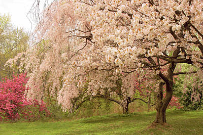 Photograph - Weeping Cherry by Jessica Jenney