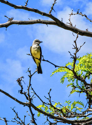 Photograph - Western Kingbird by Robert Bales