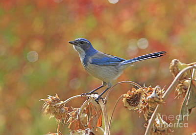 Nature Photograph - Western Scrub-jay by Gary Wing
