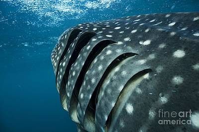 Water Filter Photograph - Whale Shark Gills by Alexis Rosenfeld