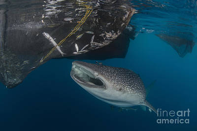 Animals Photos - Whale Shark Sucking At Fishing Nets by Mathieu Meur
