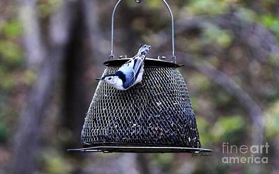 Photograph - White Breasted Nuthatch  by Yumi Johnson