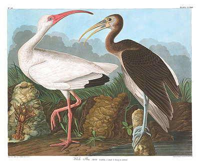 Ibis Wall Art - Painting - White Ibis by John James Audubon